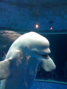 Sea Paradise: Smiling Beluga Whale